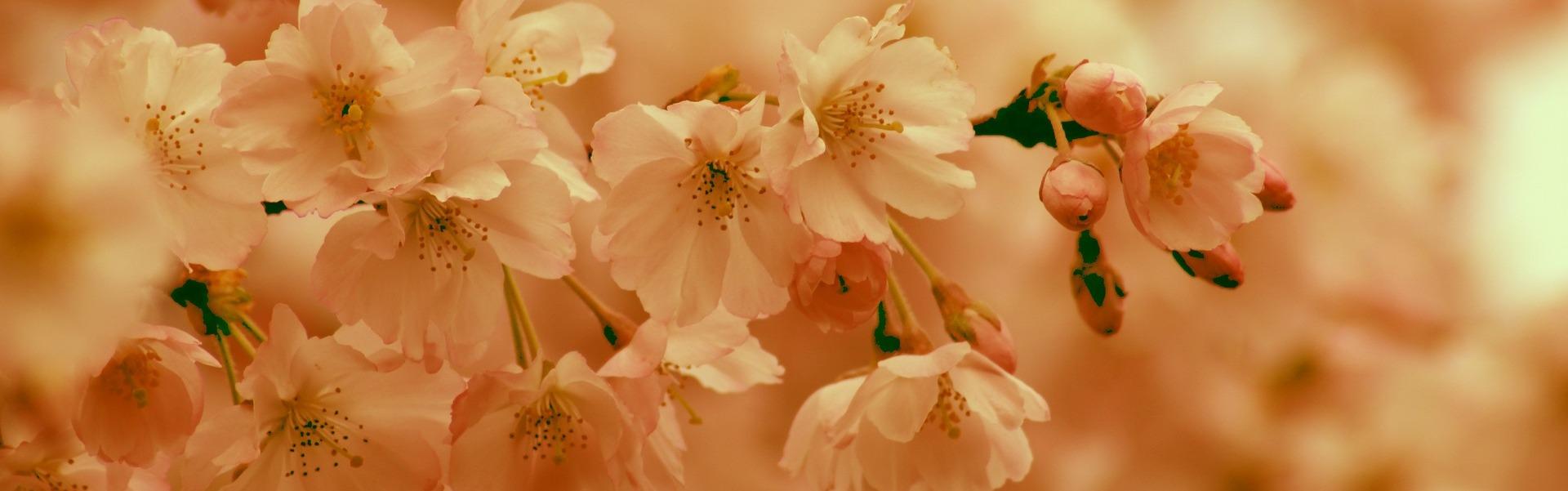 cherry-blossom-4085371_1920